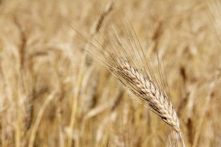 Ripe wheat close-up beauiful background photo