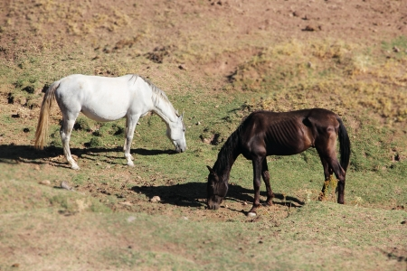Purebred andalusian spanish  horses on dry pasture photo