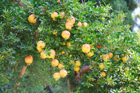 Pomegranate fruit on the tree in leaves close-up photo