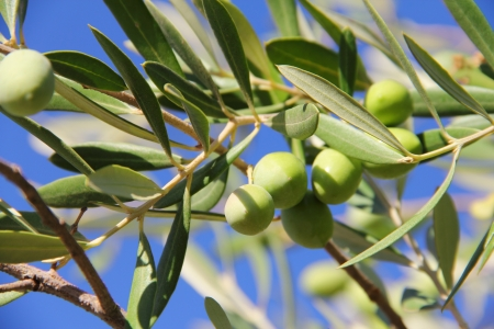 Close up green ripe olives on a tree photo