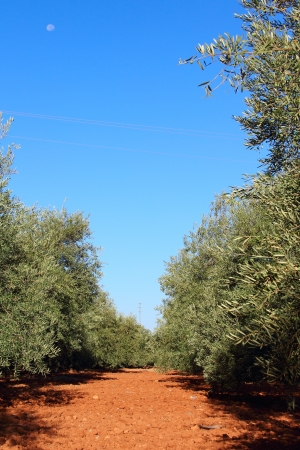 Beautiful olive trees in garden with red soil photo