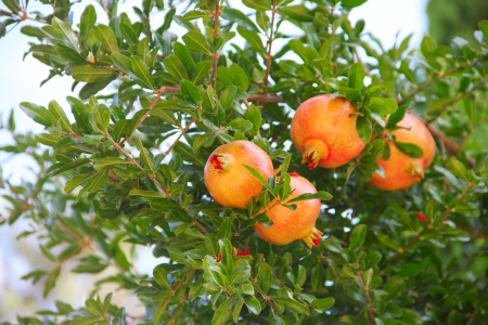 Pomegranate fruit on the tree in leaves close-up Stock Photo - 18379437