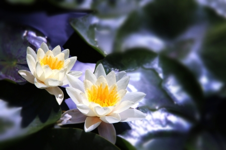 White  Lotus on the River in moonlight Stock Photo - 20151164