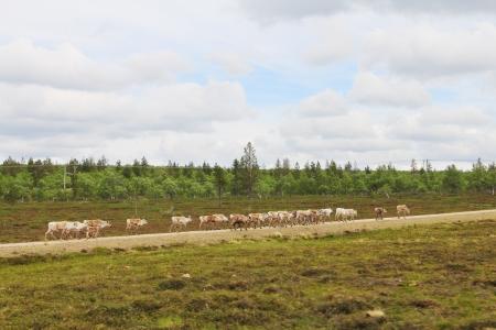 grassing: Herd of deer grassing along rural road in Lapland