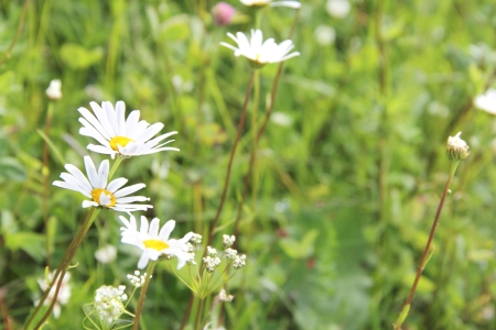 Fresh wild chamomile flowers outdoors on summer field photo