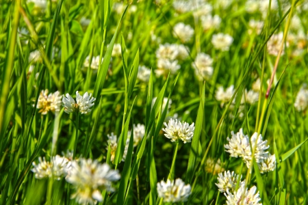 trifolium: Blooming wild White clover flowes on summer field