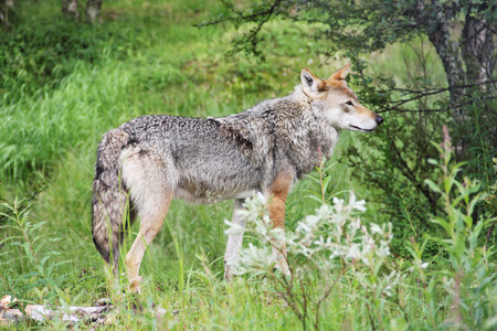 gray wolf: Wild Gray Wolf in forest close-up
