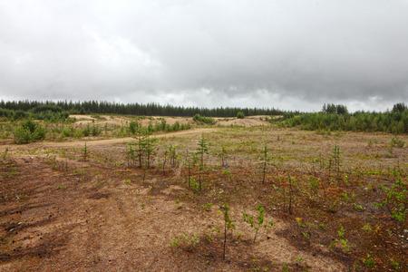 Sandy soil: Paisaje del Norte con peque�os pinos que crecen de suelo arenoso