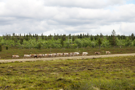 grassing: Herd of deer grassing along rural road in Lapland