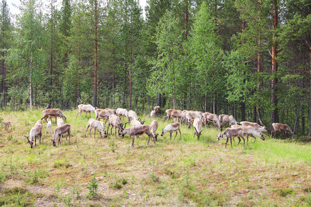 grassing: Herd of deer grassing near forest in Lapland Stock Photo