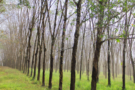Rubber plant plantation with rows of cultivated trees photo