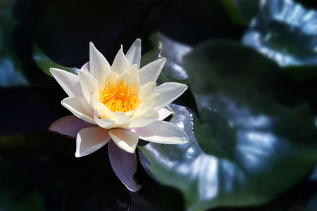 White  Lotus on the River in moonlight Stock Photo - 26468688