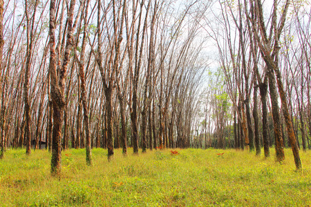 caoutchouc: Rubber plant plantation with rows of cultivated trees Stock Photo