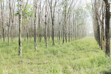 Rubber plant plantation with rows of cultivated trees Stock Photo