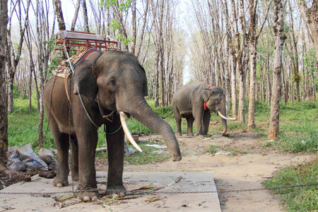 Elephants working on rubber tree plantation in Thailand photo