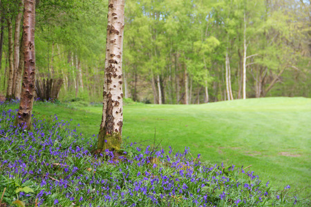 Beautiful landscape with Bluebell flowers in spring forest photo