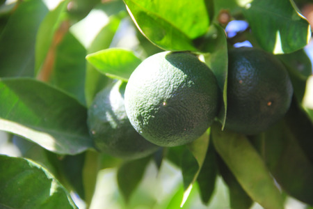 Fresh green oranges on tree in Spain close-up photo