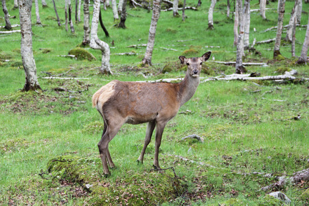 Large whitetail deer buck in the woods of Norway photo