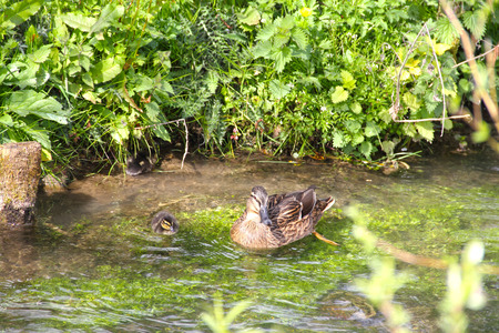 Mother-duck and ducklings floating in river photo