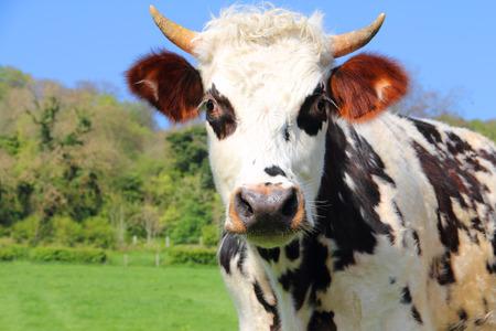 美しい牛放牧ノルマンディー、フランスのグリーン フィールド 写真素材