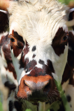 beautiful cow: Beautiful cow close up portrait in Normandy, France Stock Photo