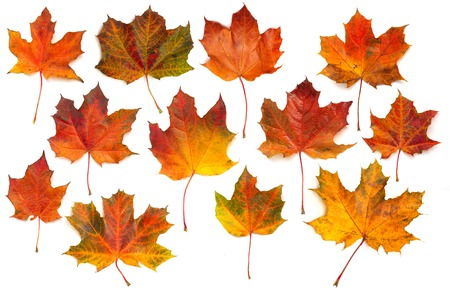 Autumn red maple leaves collection isolated on white background photo