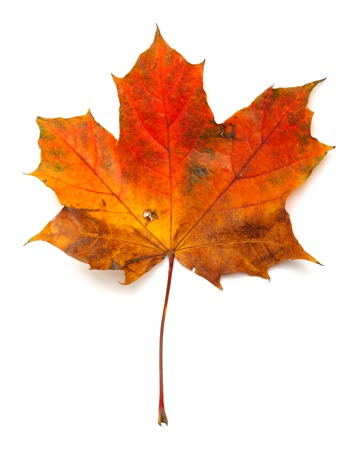 Maple colorful autumn leaf isolated on white background photo