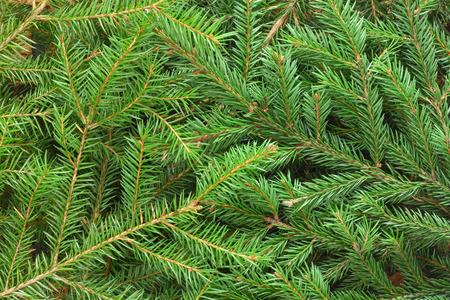 fir  tree: Fir tree branch background close up