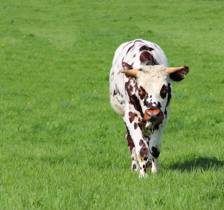 Beautiful cow grazing on green field in Normandy, France photo