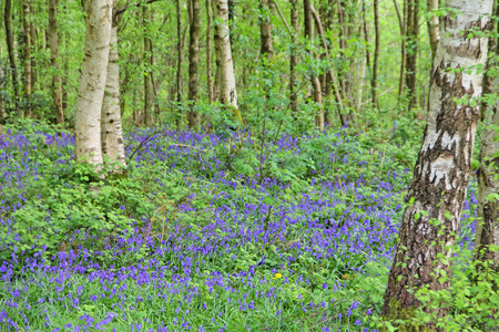 bluebell: Beautiful landscape with Bluebell flowers in spring forest
