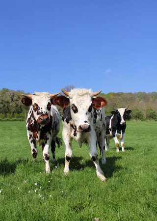 Beautiful cows grazing on green field in Normandy, France photo