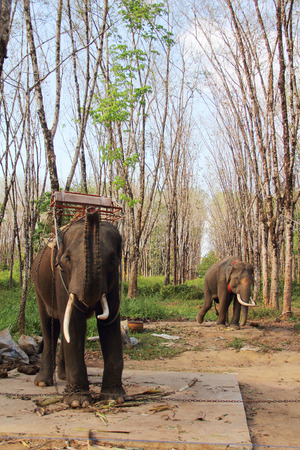 caoutchouc: Elephants working on rubber tree plantation in Thailand