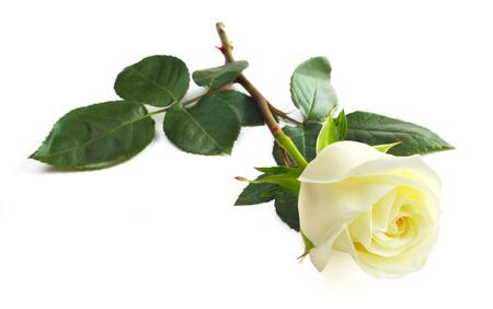 One white rose isolated on white background close-up