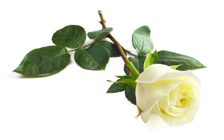 One white rose isolated on white background close-up