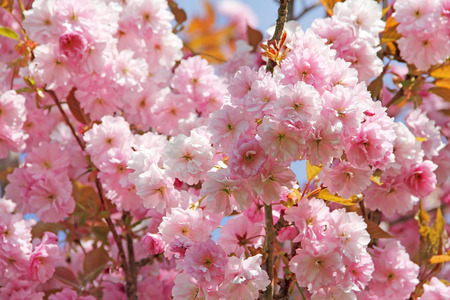 Beautiful pink Cherry flowers on blue sky background photo