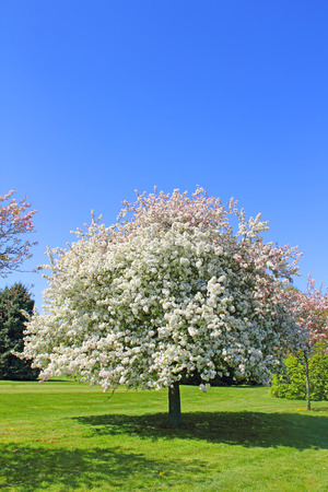 Blooming apple tree on green grass over blue sky background photo