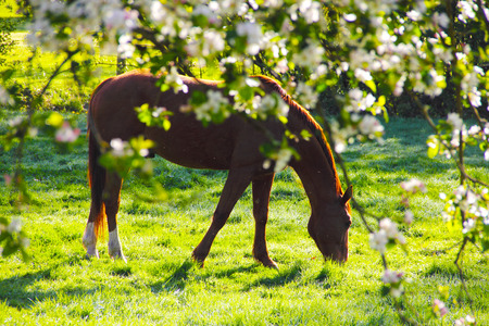 View on Beautiful brown horse on green summer field through flooming apple tree