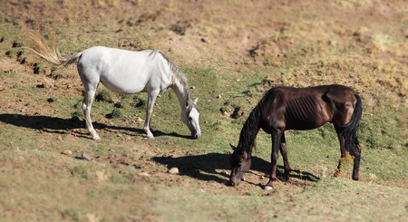 horse andalusian horses: Purebred andalusian spanish horses on dry pasture