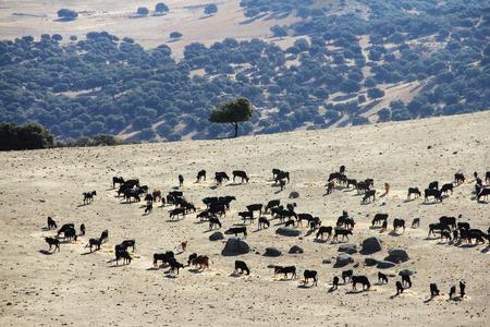 purebred: Herd of purebred bulls on beautiful spanish pasture