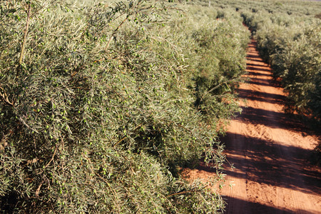 red soil: Beautiful olive trees in garden with red soil Stock Photo
