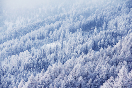 山のモミ林の美しい冬の風景