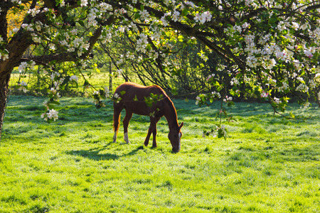 champ de fleurs: View on Beautiful brown horse on green summer field through flooming apple tree