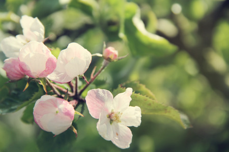 apple green: Beautiful apple tree branch with flowers close up