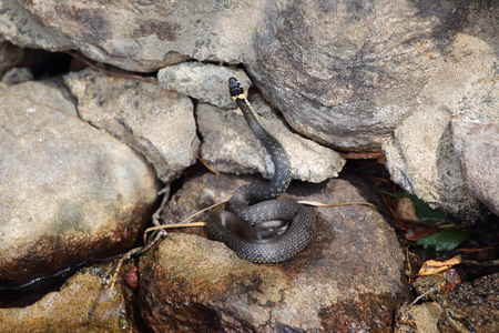 grass snake: Grass snake lying on a stone near the water