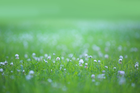 Beautiful nature background with green grass and white clover on meadow