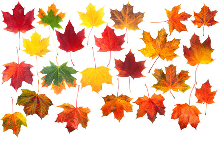 Autumn natural maple leaves set isolated on white background
