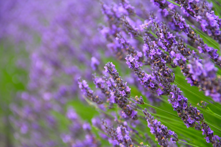 lavande: Beautiful Lavender Flowers shrub in garden close up view Stock Photo