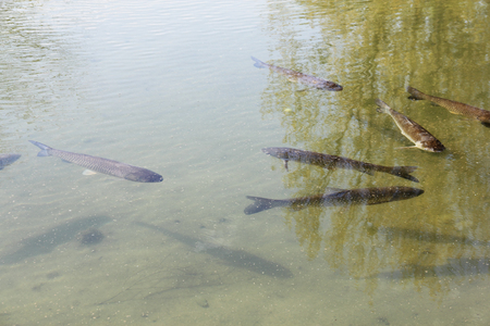 salmo: The brown trout (Salmo trutta) in clear transparent pond