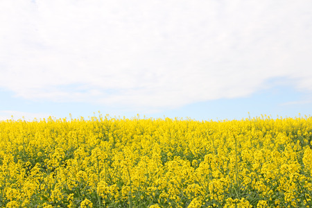 Yellow blooming flowers rapeseed field landscape