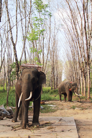 Elephants working on rubber tree plantation in Thailand
